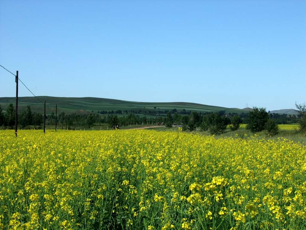 草原上的油菜花